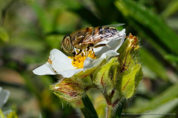 Eristalinus taeniops (mosca tigre, band-eyed drone fly)