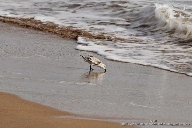 Correlimos tridáctilo o playerito blanco, sanderling, Calidris alba