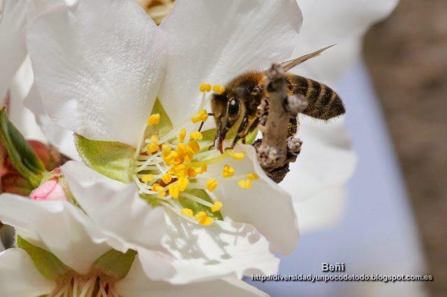abeja melifera entre los estambres de la flor del almendro