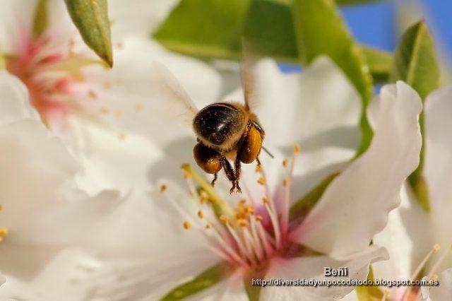 corviculas de la abeja melifera llenas de polen