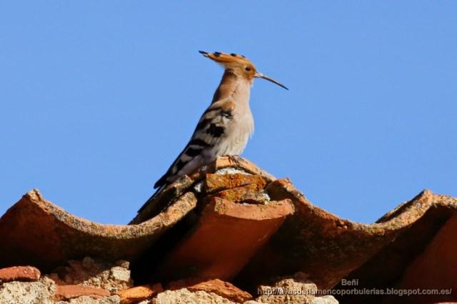 Abubilla común o Common hoopoe o Upupa epops