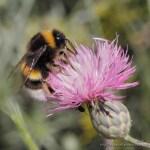 Bombus terrestris (abejorro común, buff-tailed bumblebee)