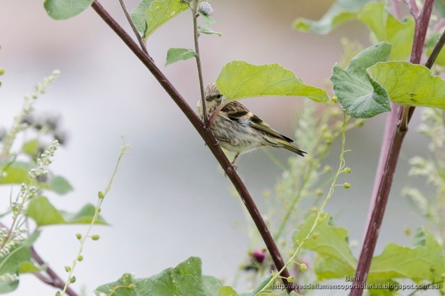 juvenil de jilguero lugano (eurasian siskin, Carduelis spinus).