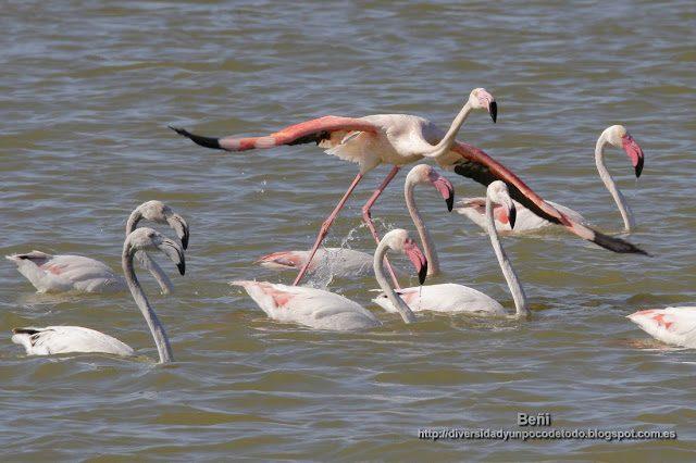 Flamenco rosado iniciando el vuelo