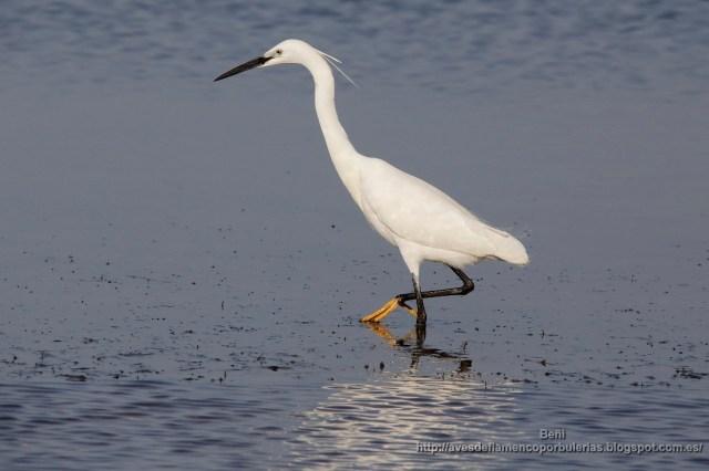 garceta comun (little egret, egretta garzetta) en el mar menor