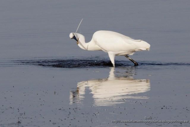 garceta comun de pesca (little egret, egretta garzetta), y con un pez en el pico