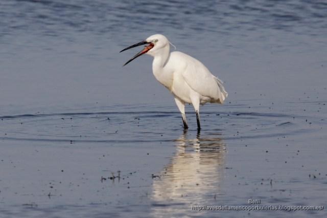 garceta comun de pesca (little egret, egretta garzetta) y tragando un pez