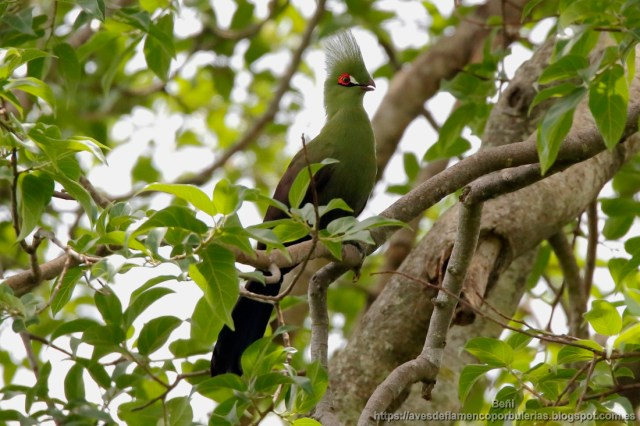 Turaco de Guinea, turaco verde, Guinea turaco, Tauraco persa