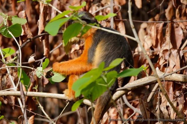 Colobo rojo en la reserva natural Abuko