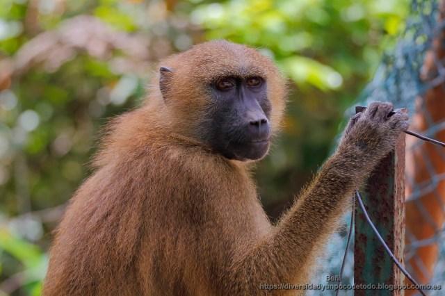babuino de guinea en el orfanato de abuko