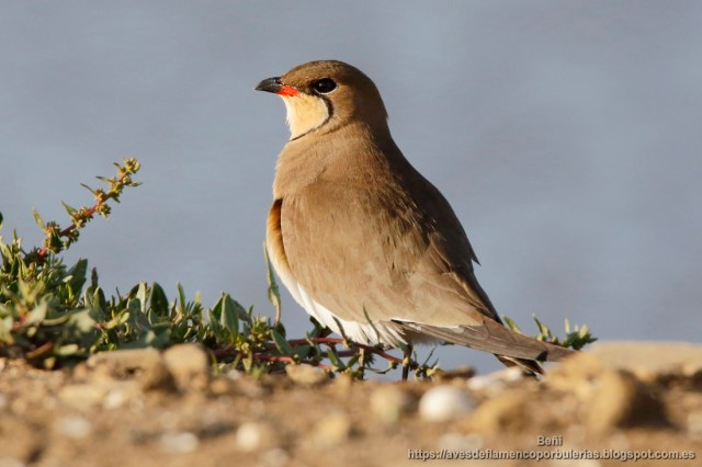 colonia de Canastera comun, collared pratincole or common pratincole, Glareola pratincola.