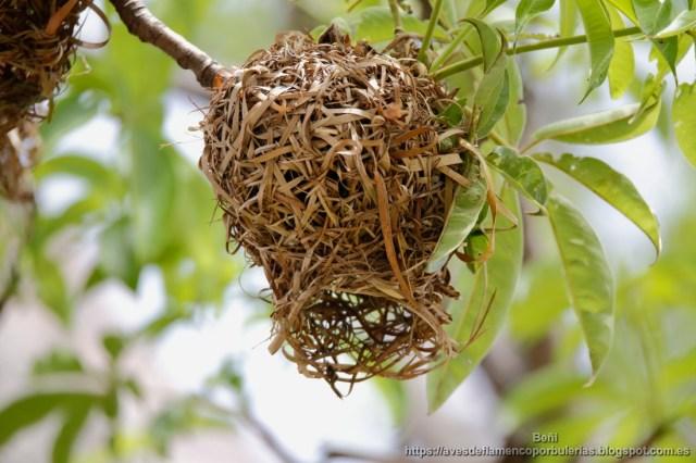 nido del tejedor comun, village weaver, Ploceus cucullatus