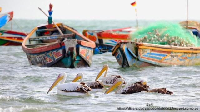 Gambia playa Tanji pelicanos barcos de pesca