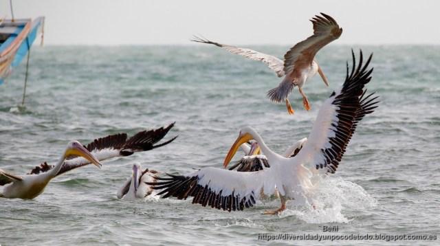 Gambia Playa Tanji pelicano rosado pescando