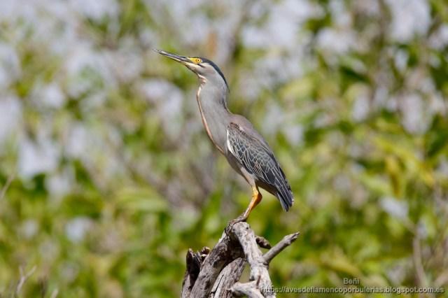 Garcita verdosa, green-backed heron, Butorides striata en Gambia