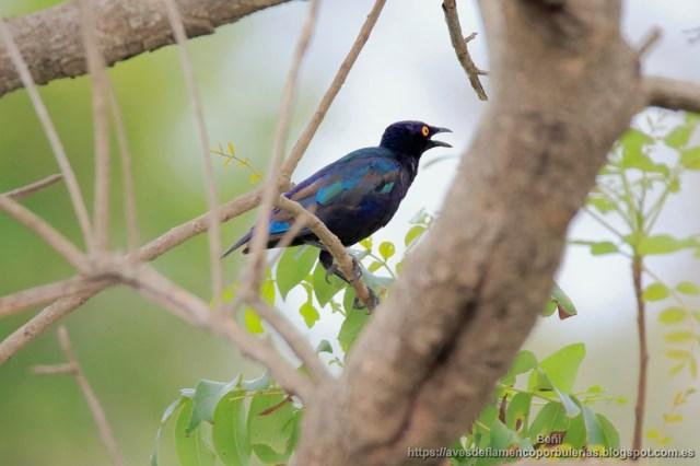 Estornino purpureo, purple glossy starling, Lamprotornis purpureus, en Gambia