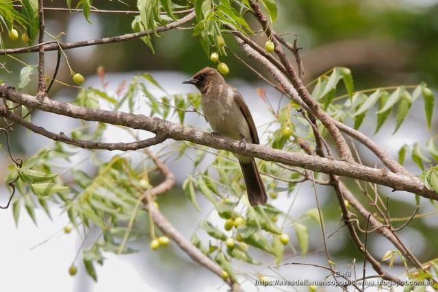 Bulbul naranjero, common bulbul, Pycnonotus barbatus