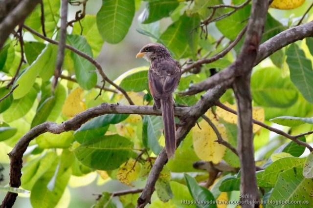 Alcaudon piquigualdo, yellow-billed shrike, Corvinella corvina