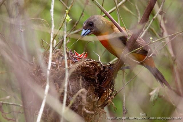 Hembra de tangara costarricense alimentando a los pollos en el nido