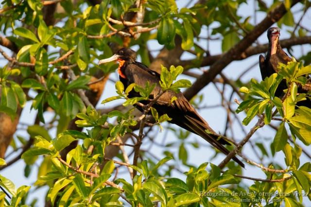 Macho de rabihorcado magnífico, magnificent frigatebird, Fregata magnificens