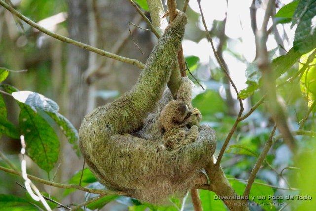 Hembra de perezoso de tres dedos con su cria (brown-throated three-toed, Bradypus variegatus)