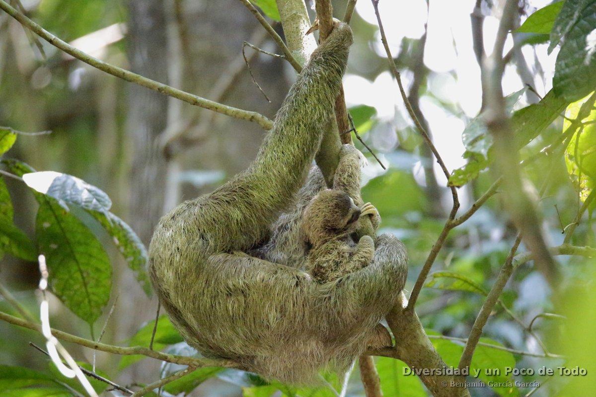 Perezoso de tres dedos (Bradypus variegatus): Una hembra con su cría.