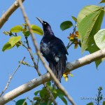 zanate mexicano (great-tailed grackle, quiscalus mexicanus) ejemplar macho