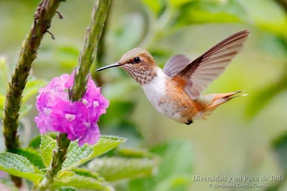 Colibri centelleante (scintillant hummingbird, Selasphorus scintilla)