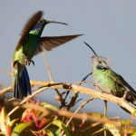 colibri verdemar (green violet-ear, colibri thalassinus)