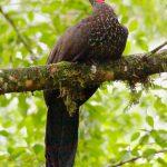 Pava cojolita (Crested Guan, Penelope purpurascens) en su habitat arboricola