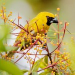 Picogrueso carinegro (black-faced Grosbeak, Caryothraustes poliogaster)