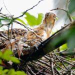 Avetigre colorada, Rufescent Tiger-heron (Tigrisoma lineatum)