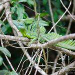 Basilisco esmeralda, Green basilisk (Basiliscus plumifrons).