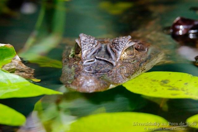 Caiman, Comon caiman, Caiman crocodilus