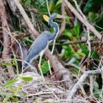 Garceta tricolor, Tricolored Heron (Egretta tricolor)