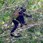 Mono aullador, golden-mantled howling monkey (Alouatta palliata)
