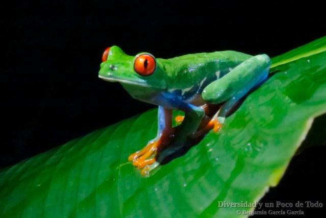Rana verde de ojos rojos (Red-eyed Tree Frog, Agalychnis callidryas)