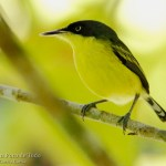 Titiriji común, Common tody-flaycatcher (Todirostrum cinereum)