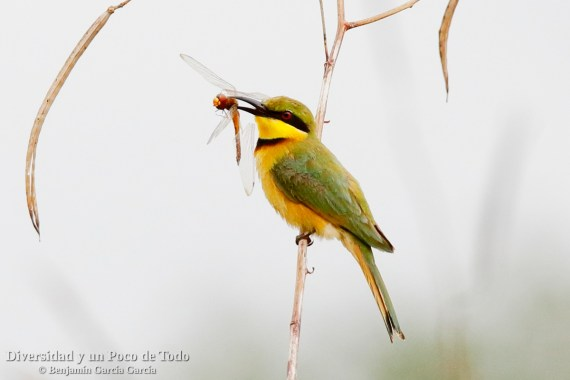 Abejaruco chico (little bee-eater, Merops pusillus)