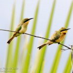 Abejaruco chico (little bee-eater, Merops pusillus)