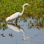 Garceta grande, Great White Egret (Ardea alba)