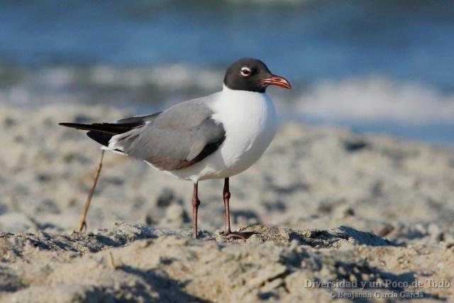 Gaviota guanaguanare (Laughing Gull, Larus atricilla)