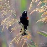 Sargento alirrojo macho, red-winged blackbird, Agelaius phoeniceus.