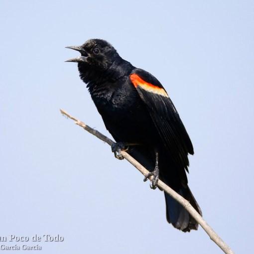 Sargento alirrojo, red-winged blackbird, Agelaius phoeniceus.
