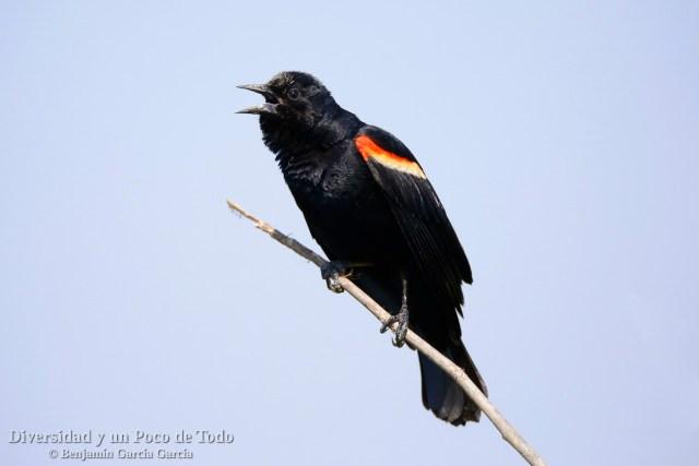 Sargento alirrojo, red-winged blackbird, Agelaius phoeniceus