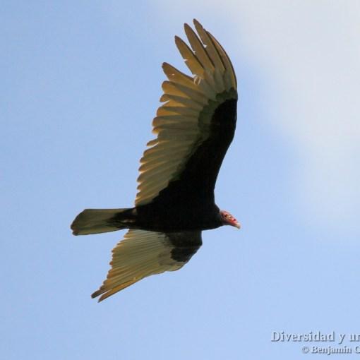 aura gallipavo o buitre americano, turkey vulture, cathartes aura