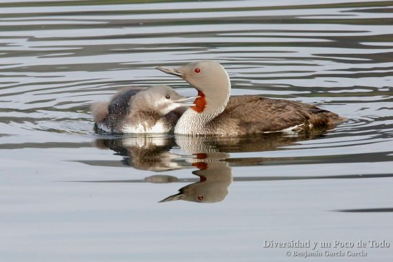 adulto y pollo de colimbo chico (red-throated loon, gavia stellata)