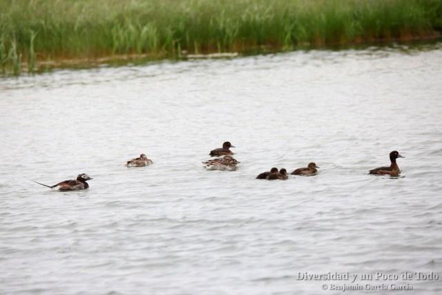 aves en islandia, pato havelda y porron monudo con sus patitos