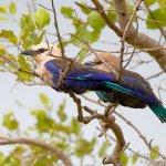 pareja de carraca blanquiazul, blue-bellied roller, coracias cyanogaster