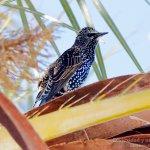 Estornino pinto con el plumaje de invierno (Common Starling, Sturnus vulgaris)